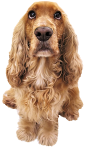 image of cocker spaniel dog.